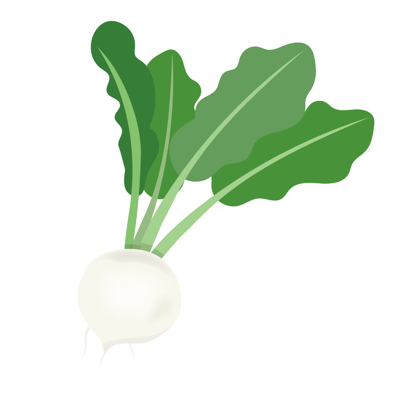 カブ(蕪・かぶ)のイラスト【野菜】 | 商用フリー(無料)のイラスト