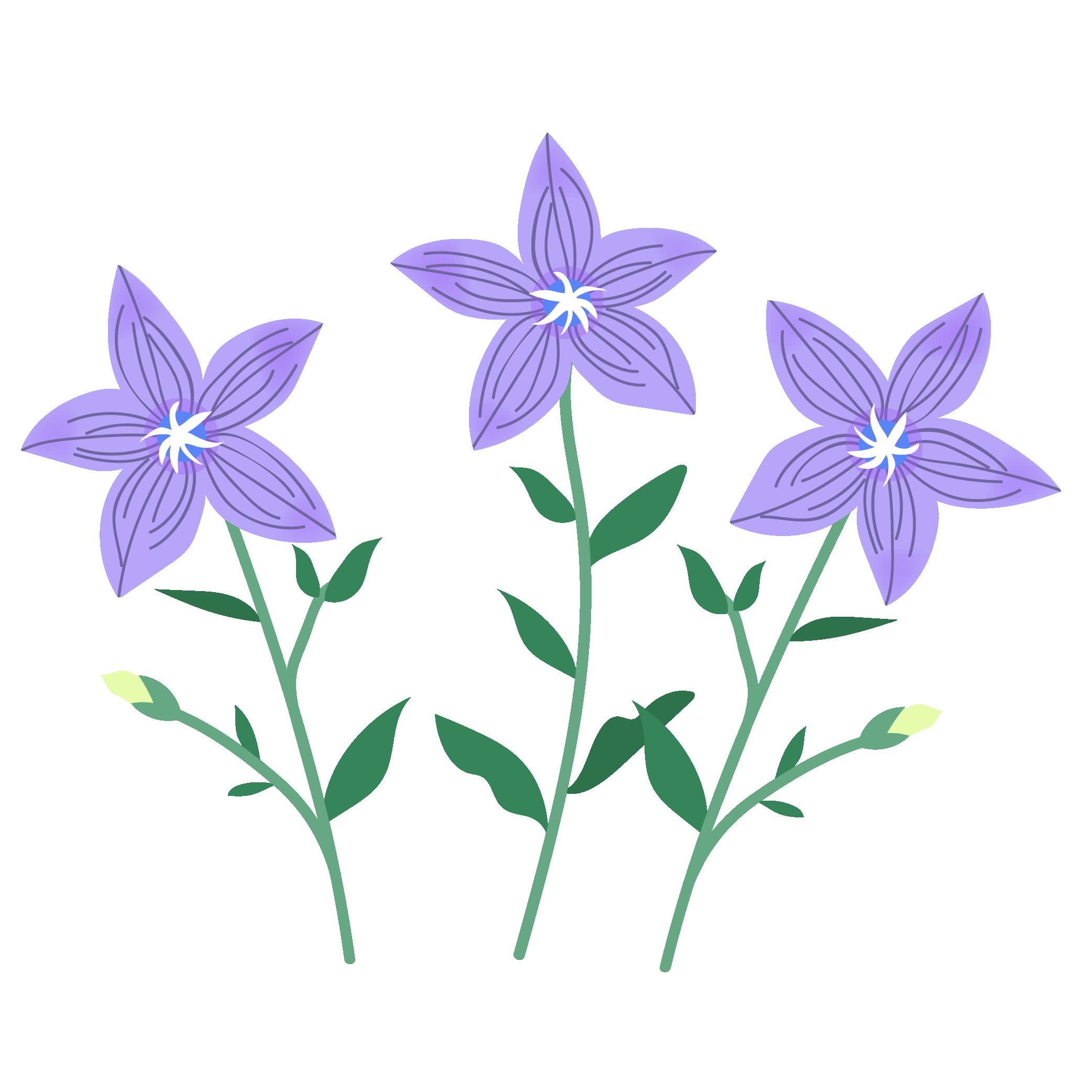 桔梗キキョウ英語chinese Bellflower秋の花のイラスト 商用