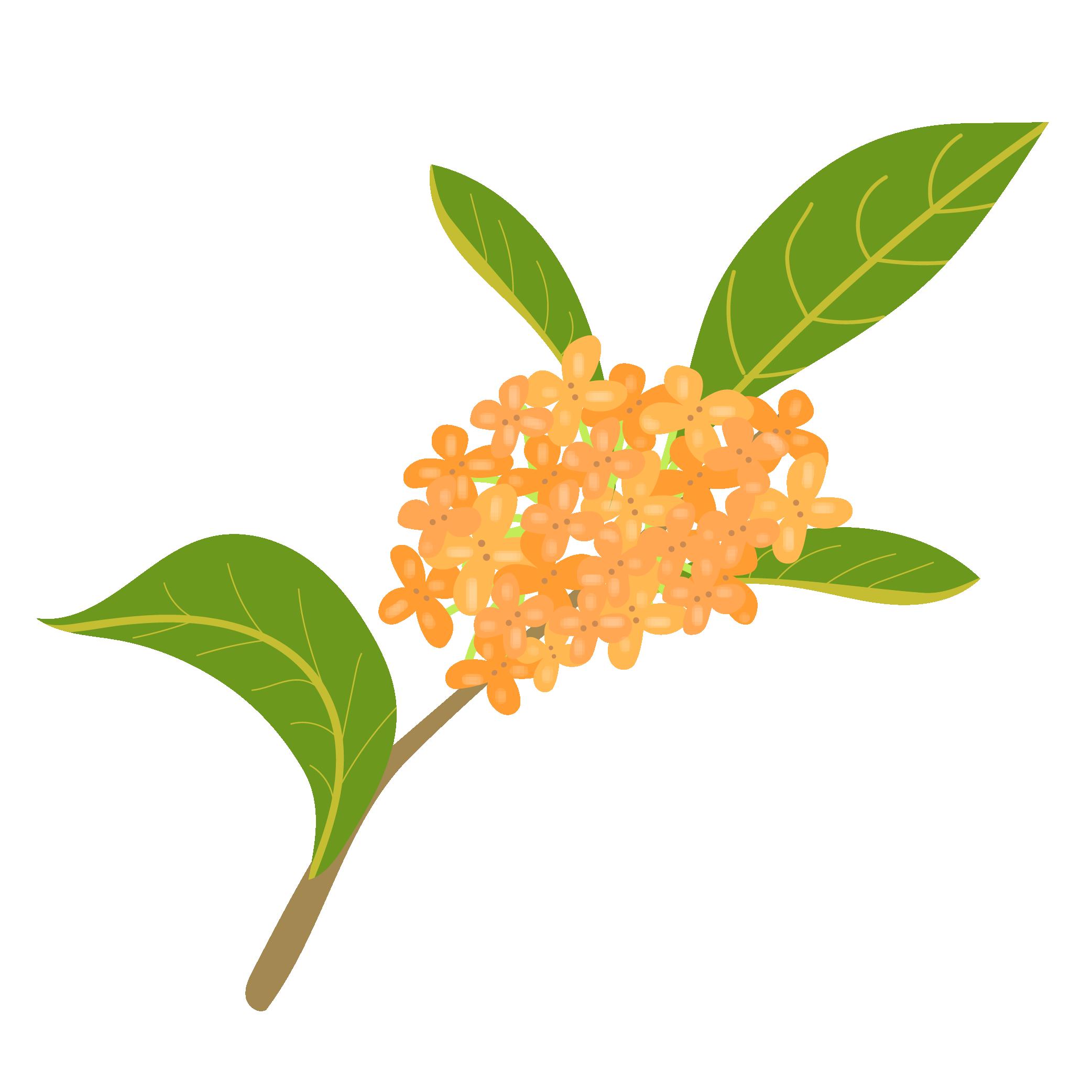 金木犀キンモクセイ英語fragrant Olive秋の花のイラスト 商用