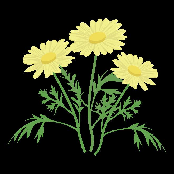 かわいい マーガレットの花 黄色 フリー イラスト 商用フリー