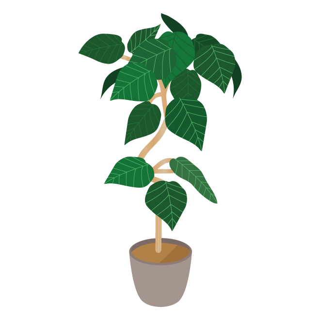 おしゃれフィカスフィカスウンベラータ観葉植物イラスト