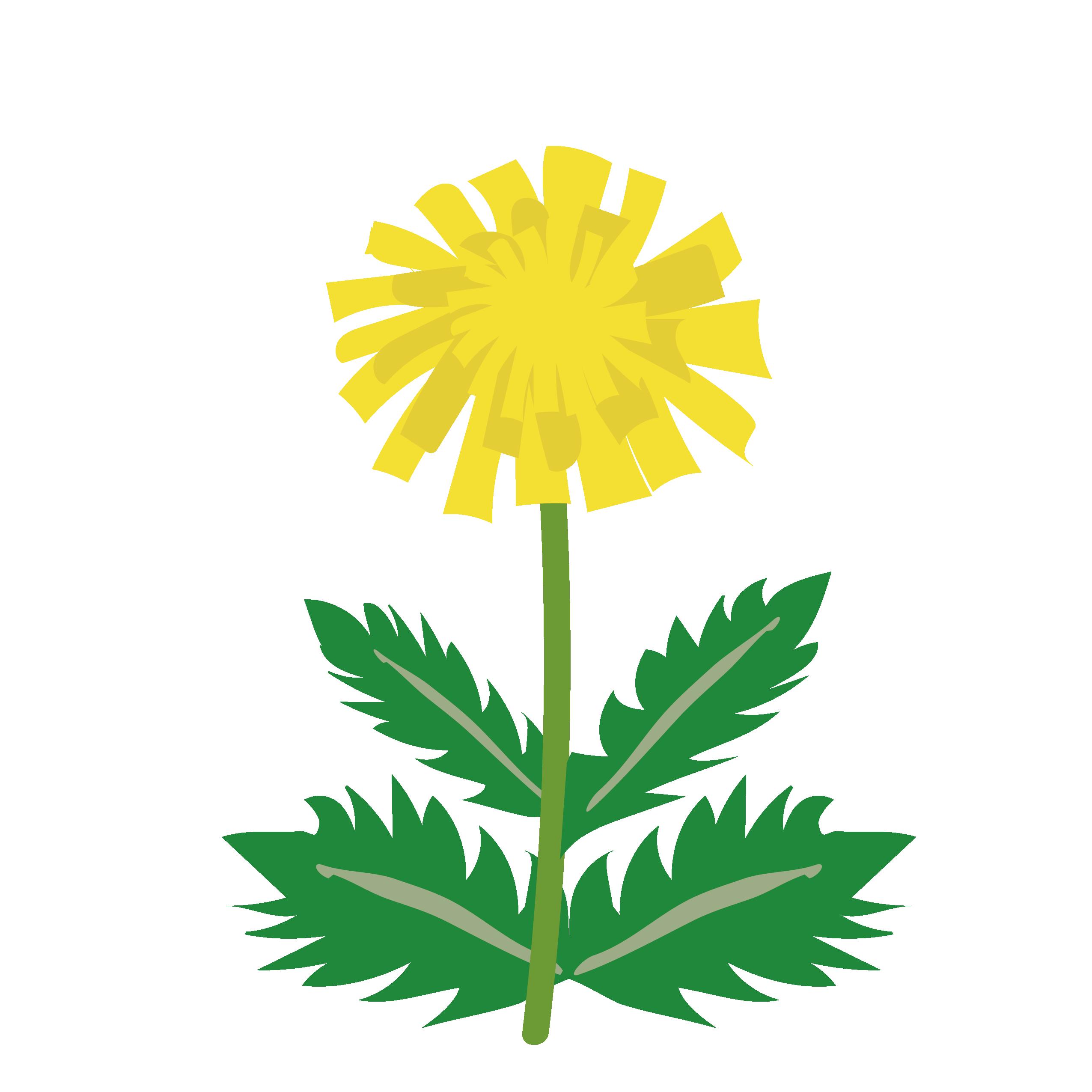 花タンポポ蒲公英たんぽぽの かわいい イラスト 商用フリー