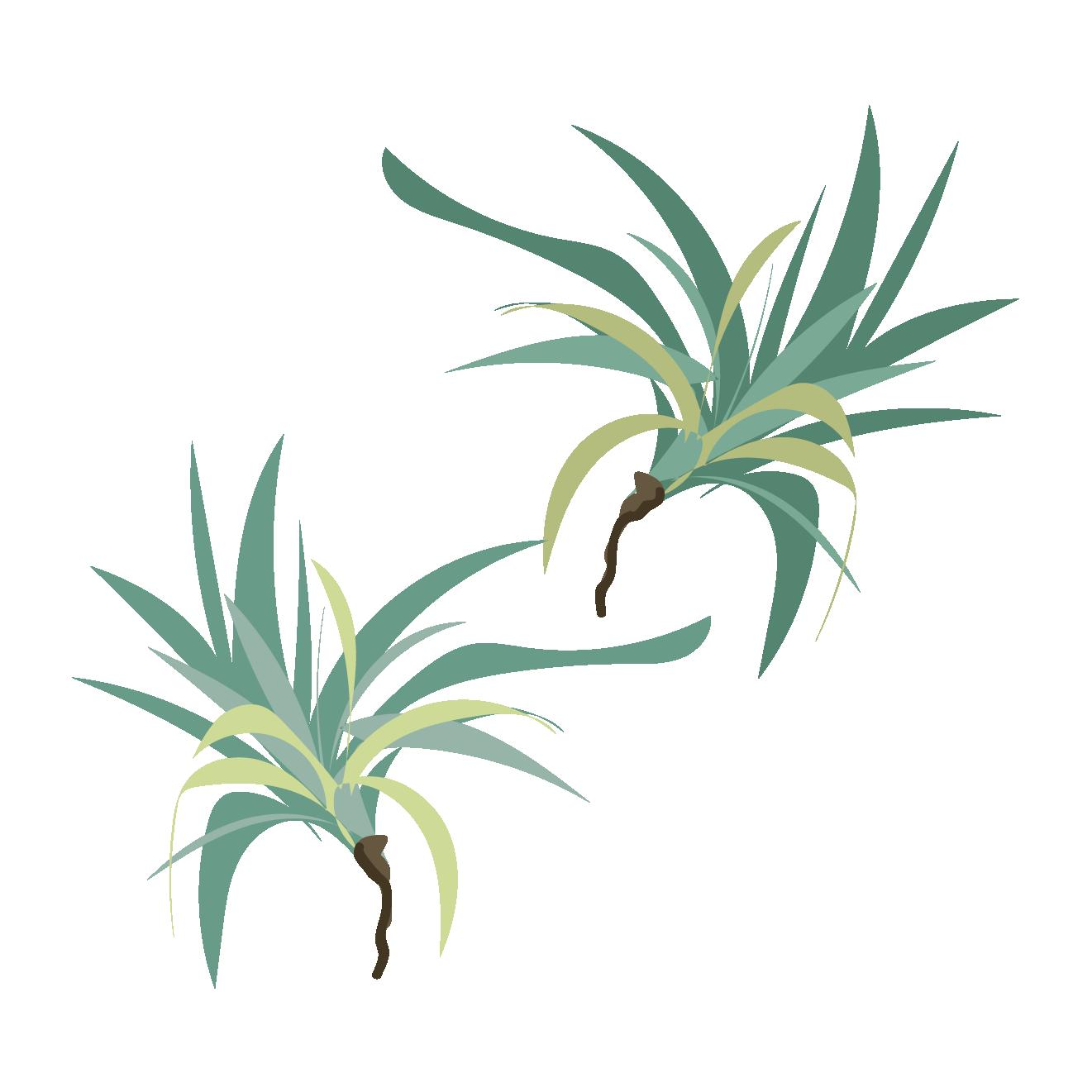 エアープランツ チランジアのイラスト【植物・グリーン】 | 商用フリー
