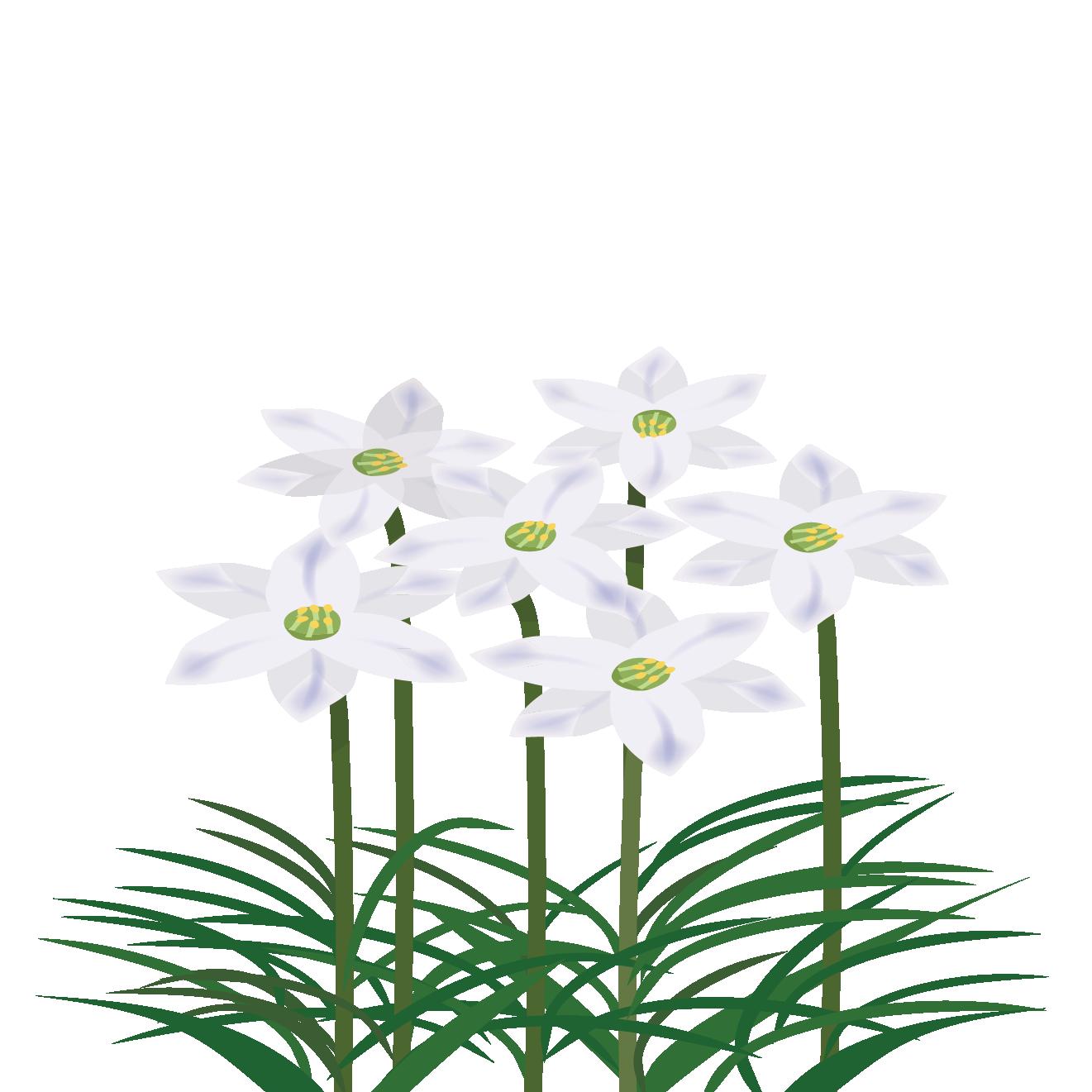 野に咲く春の花 ハナニラ(花韮)の フリー イラスト