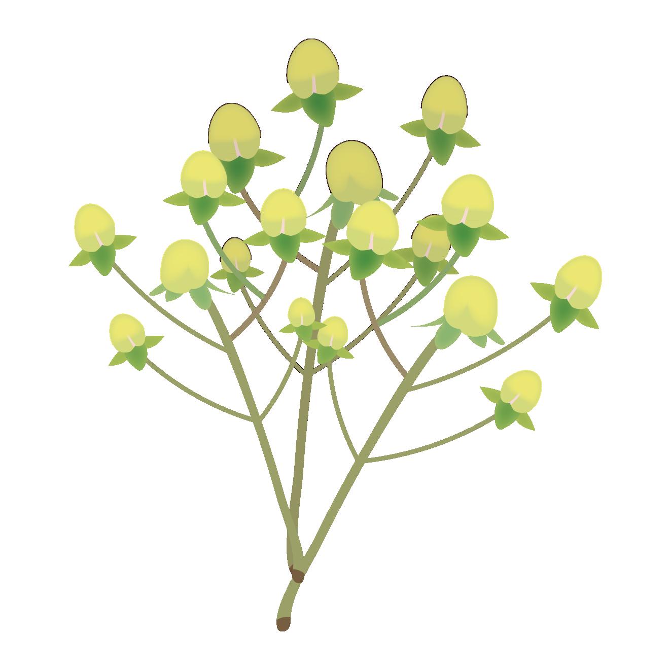 黄色のかわいいお花♪ ヒペリカムの フリー イラスト