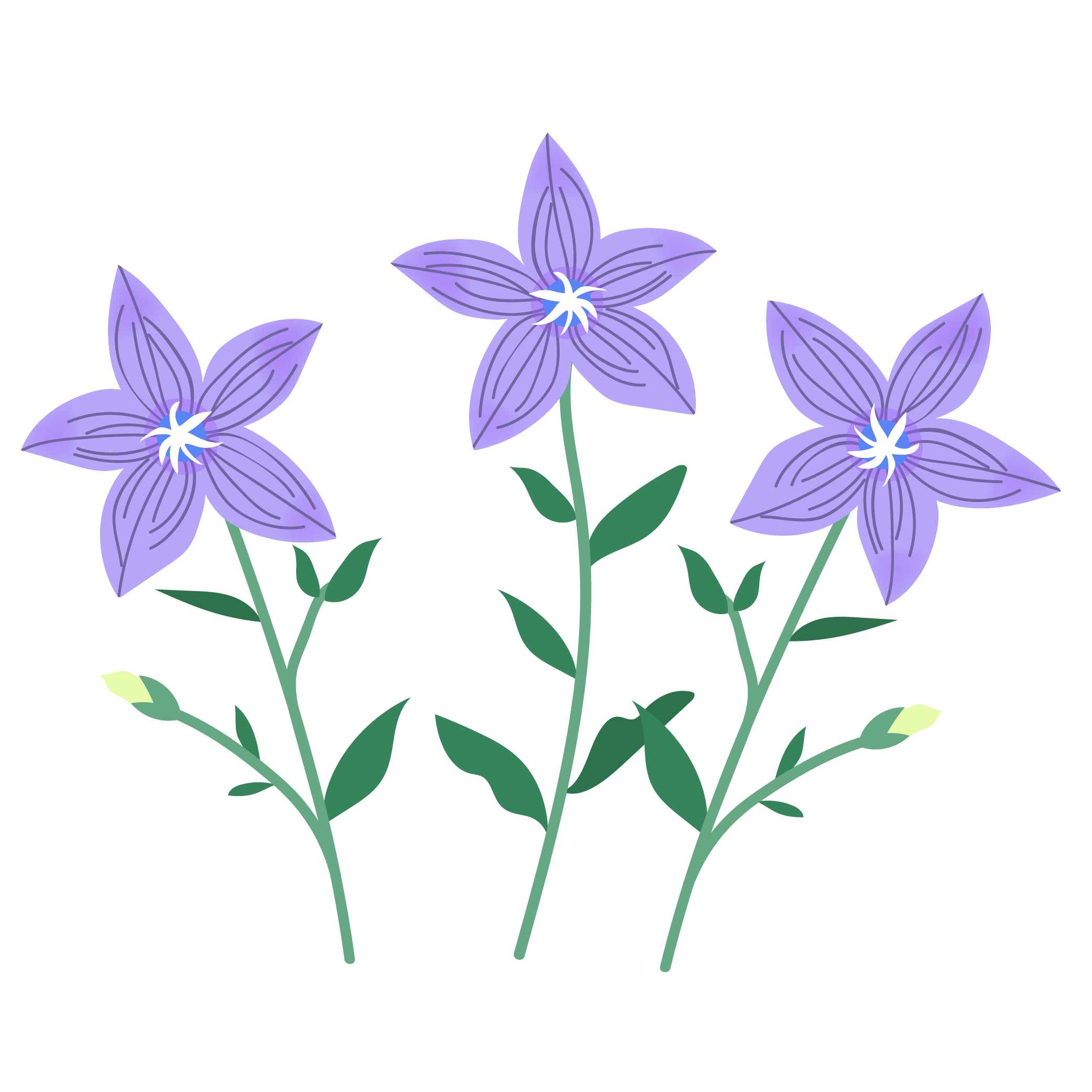 桔梗・キキョウ(英語:chinese-bellflower)秋の花のイラスト | 商用