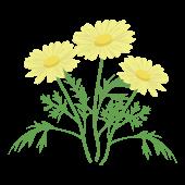 かわいい♪ マーガレットの花  (黄色) フリー イラスト