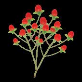 赤色のかわいいお花♪ ヒペリカムのイラスト