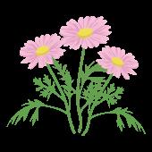 かわいい♪ マーガレットの花  (ピンク色)イラスト
