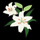 【花】ゆり(ユリ/カサブランカ)の フリー イラスト