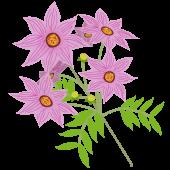 皇帝ダリア(コウテイ ダリア)のお花【秋の花】イラスト