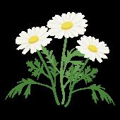 かわいい♪ マーガレットの花  (白い花)フリー イラスト